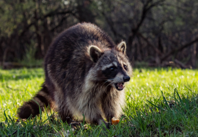 raccoon website
